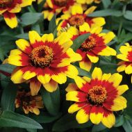 Profusion Red & Yellow (Zinnia)