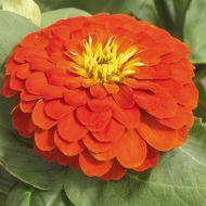 Magellan Scarlet (Zinnia)
