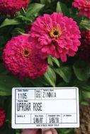 Uproar™ Rose (Zinnia)