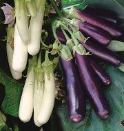Hansel (Eggplant/hybrid)
