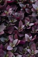 Purple Prince (Alternanthera)