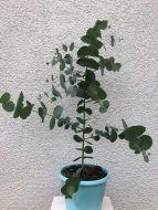 Baby Blue (Eucalyptus)