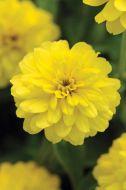 Double Zahara Yellow (Zinnia/double)