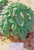 Nufar YR Basil (Organic)