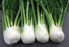 Antares Fennel