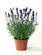 Scent™ Early Blue and White Mix (Lavender/perennial)