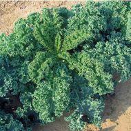 Winterbor (Kale)