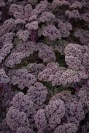 Redbor (Kale)