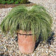 Amazon Mist® (Carex/pelleted)