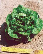 Buttercrunch (Lettuce/Bibb)