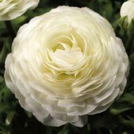 Magic White (Ranunculus)