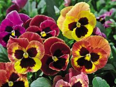 Mammoth™ Sangria Punch (Pansy)