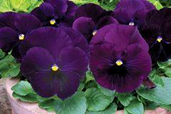 Spring Matrix Purple (Pansy)