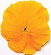 Spring Matrix Yellow (Pansy)