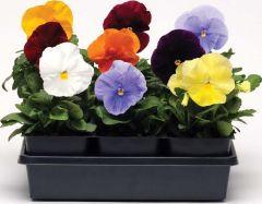 Spring Matrix Clear Mix (Pansy)