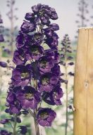 Benary's Pacific Giants Black Knight (Delphinium)