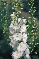 Benary's Pacific Giants Galahad (Delphinium)