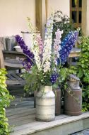 Benary's Pacific Giants Mix (Delphinium)
