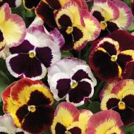 Delta™ Premium Tapestry (Pansy)