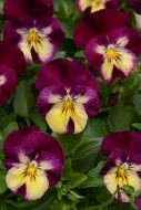 Cool Wave Raspberry Swirl (Pansy/primed)