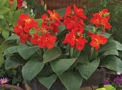 South Pacific Scarlet (Canna)