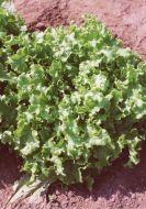 Green Salad Bowl (Lettuce/looseleaf)