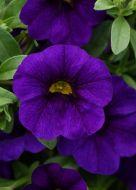 Kabloom Blue (Calibrachoa Pellets)