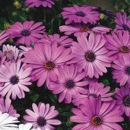 Asti™ Lavender Shades (Osteospermum)