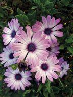 Asti™ Purple Bicolor (Osteospermum)