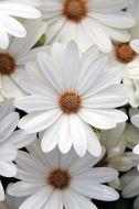 Akila Daisy White (Hybrid Osteospermum)