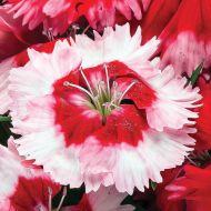 Venti Parfait™ Strawberry Shades (Dianthus)