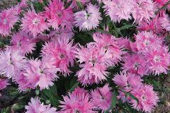 Supra Pink (Dianthus)