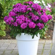 Jolt Purple (Dianthus Pellets)