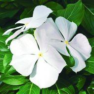 Cora® Cascade™ White (Vinca)