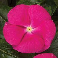 Cora® Cascade™ Bright Rose (Vinca)