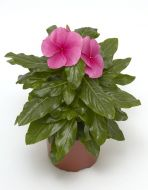 Cora® XDR Deep Strawberry (Vinca)
