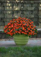 Beacon Orange (Impatiens)