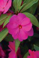 Divine Orchid (Hybrid Impatiens)
