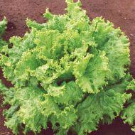 Grand Rapids TBR (Lettuce/looseleaf)