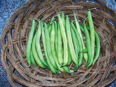 Provider (Green Beans Bush/untreated)