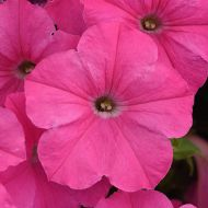 E3 Easy Wave Pink (Petunia/multiflora/pelleted)