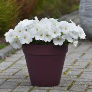E3 Easy Wave White (Petunia/multiflora/pelleted)