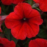 E3 Easy Wave Red (Petunia/multiflora/pelleted)