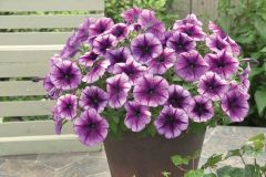 Trilogy™ Purple Vein (Petunia/multiflora/pelleted)