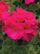 Pinto Premium Violet (Geranium)
