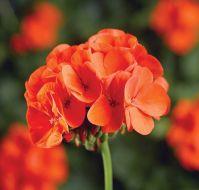 Pinto Premium Orange (Hybrid Geranium)