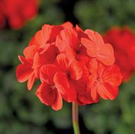 Pinto Premium Deep Scarlet (Geranium)