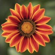 Big Kiss Orange Flame (Hybrid Gazania)