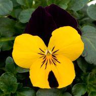 Sorbet XP Yellow Jump Up (Viola)