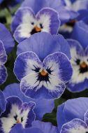 Sorbet XP Delft Blue (Viola)